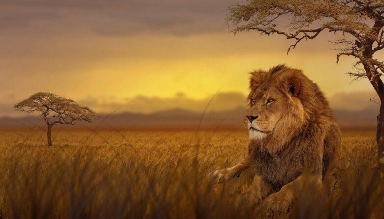 夕日の中のライオン