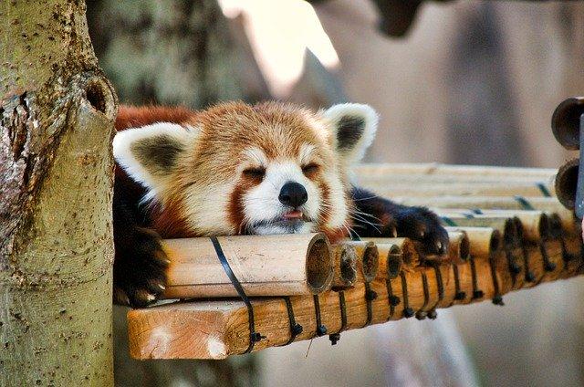睡眠中のレッサーパンダ